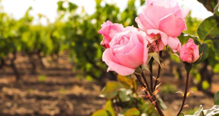 Abbiamo assaggiato tutti i vini rosé della vostra prossima vacanza in Puglia