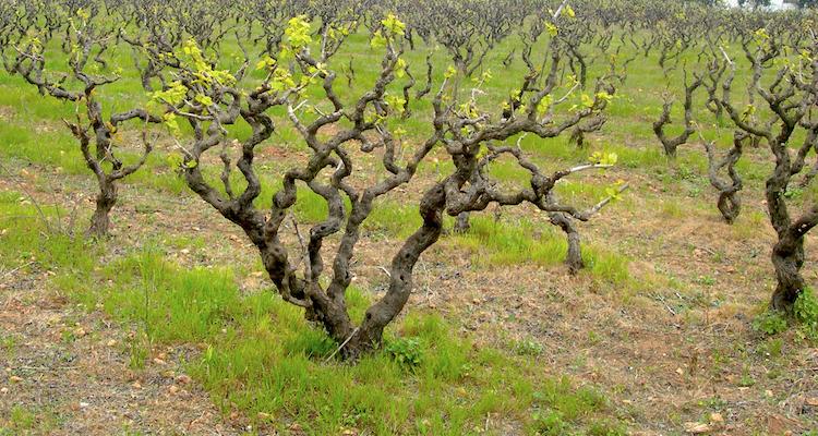 Il primitivo è il vitigno più premiato del mondo. In proporzione al territorio