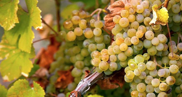 Sono in fissa per lo chenin: otto vini per saperne di più