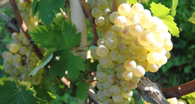 Dieci anni di Nas-Cëtta del Comune di Novello: a che punto siamo con il vostro nuovo vino bianco preferito