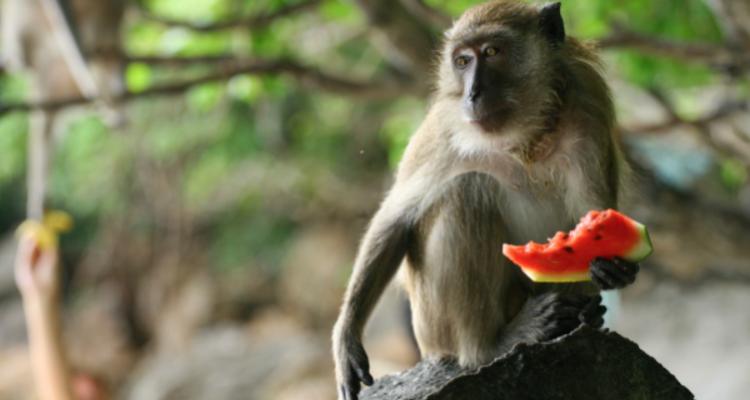 Alcol, scimmie ed evoluzione. Perché possiamo bere?