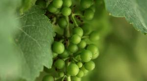 johanniter vitigno interspecifico ibrido resistente