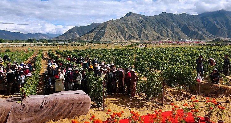 La vigna più alta del mondo è in Tibet (Cina) a 3.563,31 metri sul s.l.m.