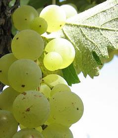 vino-bianco-01